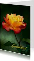 Een geel oranje roos-isf