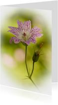 Lila-wit bloempje met verloop