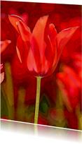 Rode Tulp 7