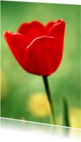 Rode Tulp - BK