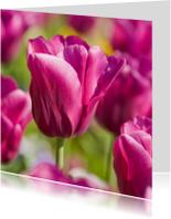 4K donkerroze tulp