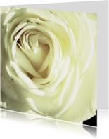 een witte roos