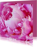 Pioenroos in volle bloei 2 - OTTI