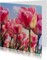 roodwitte tulpen