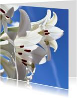 witte lelies
