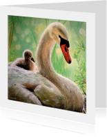 Zwanen - zwaan met jong - kunstkaart