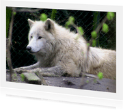 Dieren Fotokaart witte wolf