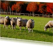 Herfst bij de schapen - OT
