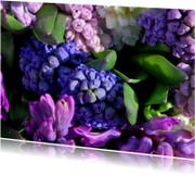 Hyacinten paars lila