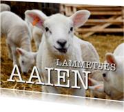 Lammetjes aaien - OTTI
