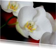 Orchidee - Bloem - OT