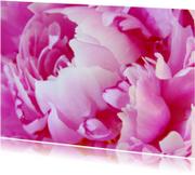 Pioenroos in volle bloei - Zomer