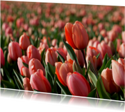 Rood roze tulp in tulpenveld OT