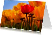 Hollandse tulpen in volle bloei