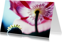 Papaver en roze bloem-isf