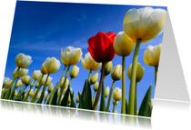 Prachtige Hollandse tulpen