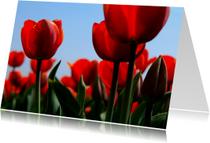 Rode tulpen in bloei