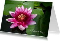 Sterkte roze waterlelie - lotus