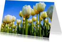 Witte Hollandse tulpen