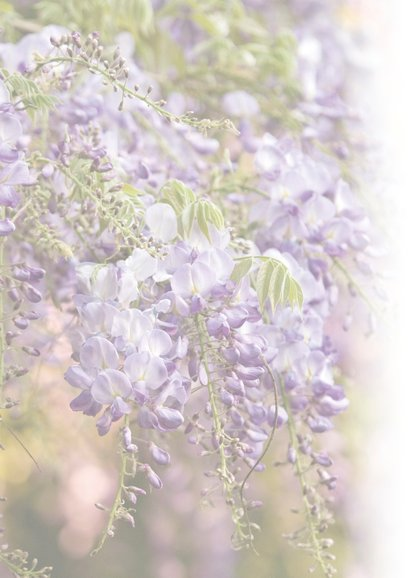Bloeiende blauwe regen 2