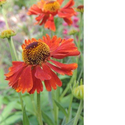 Bloemenkaart - Rode margriet 2