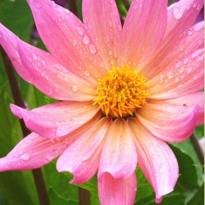 Bloemenkaart roze dahlia bloem 2