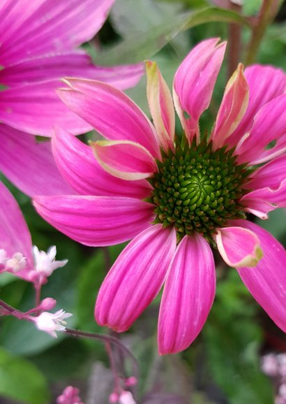 Bloemenkaart - Zonnehoed of Echinacea 2