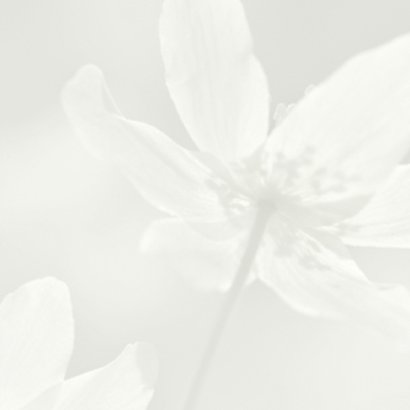 Deelneming met witte bosanemoon 2