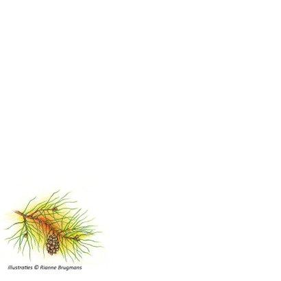 Kuifmeesje in een dennenboom 2