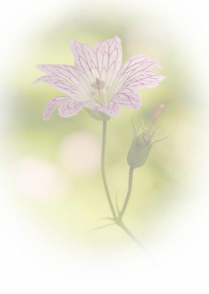 Lila-wit bloempje met verloop 2