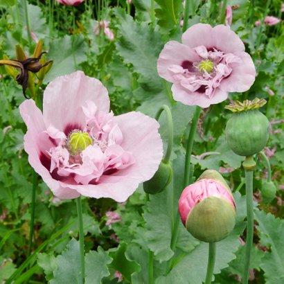 Mooie bloemenkaart met roze klaprozen 2