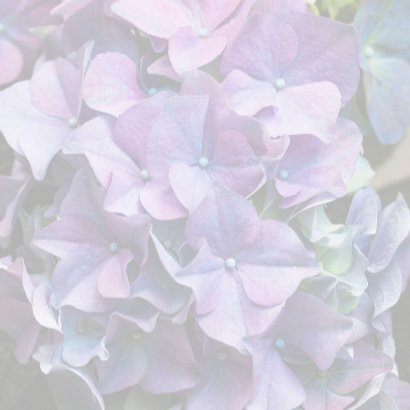 paarse hortensia 3