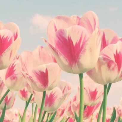 Rood-witte tulpen 2