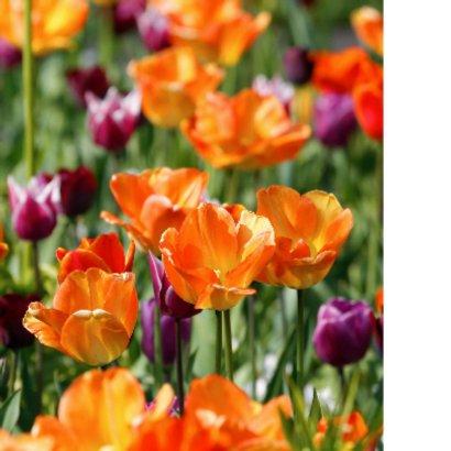 Tulpenveld oranje paars OT 2