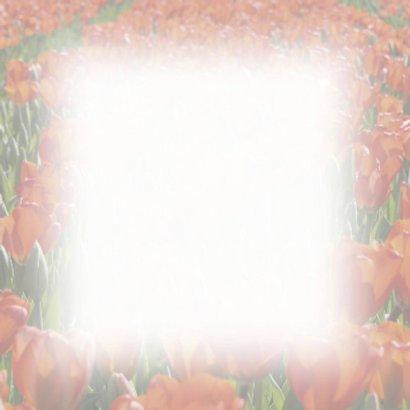 tulpenveld rood 2