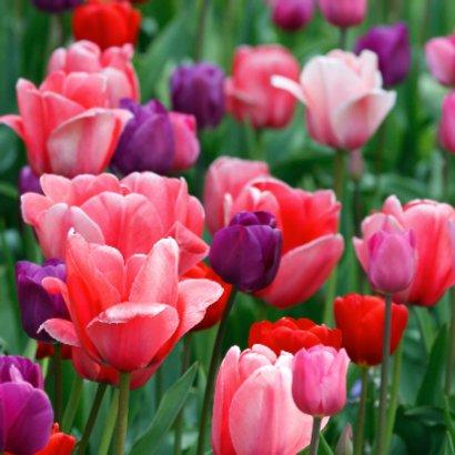 Tulpenveld roze paars rood OT 2
