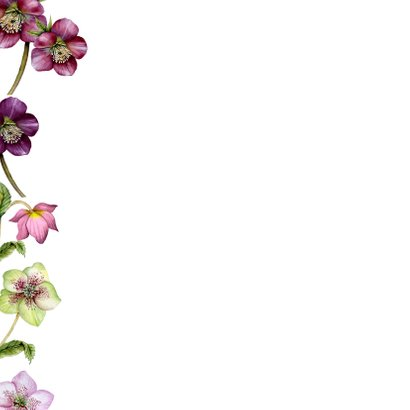 Verjaardag helleborus rozen 2