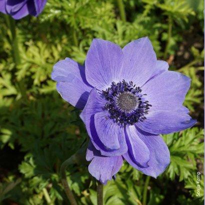Verjaardagskaart paarse bloem - SK 2
