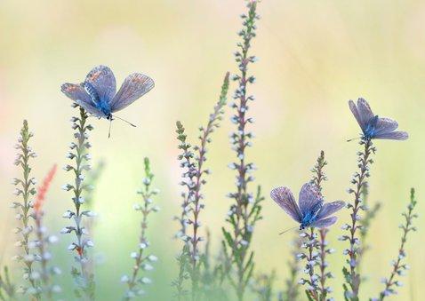 Felicitatie vlinders op de hei 3